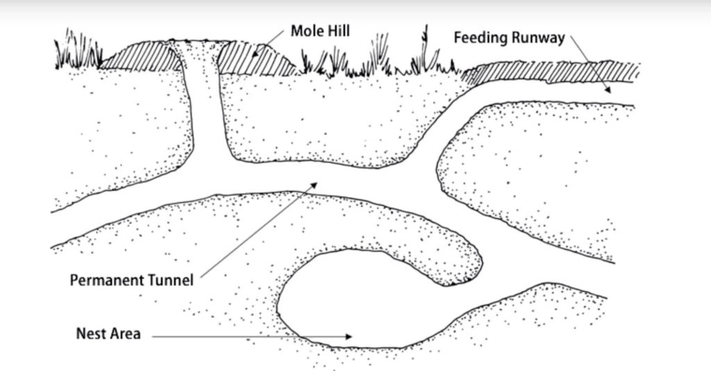 The tunnel systems of moles can be both shallow and deep